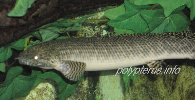 Picture of Polypterus ornatipinnis, Ornate bichir