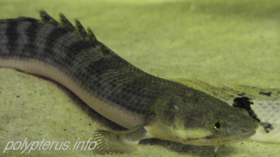 Picture of Polypterus weeksii